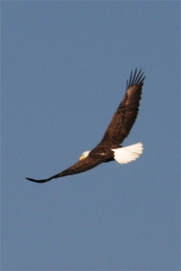 flying-eagle1