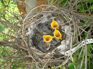 hungry-chicks